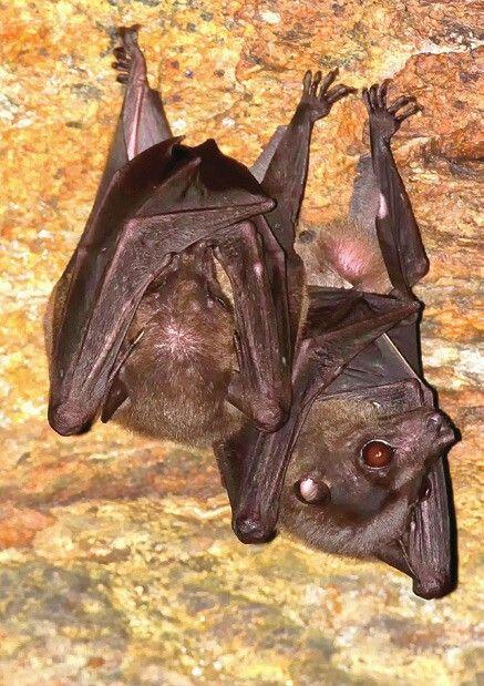 Salim Ali's fruit bat