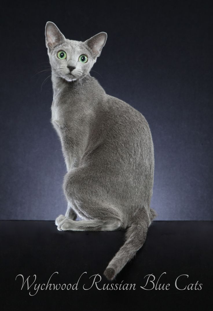 47 best Wychwood Russian Blue Cats and Kittens images on Pinterest