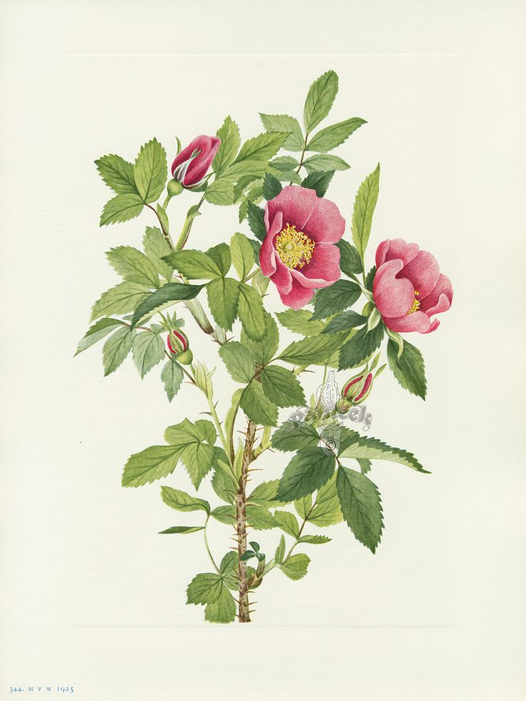Antique Prints Of Quot Bourgeau Rose Flower Quot From Walcott North American Wild Flowers 1925