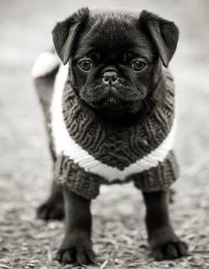 Pug in sweater