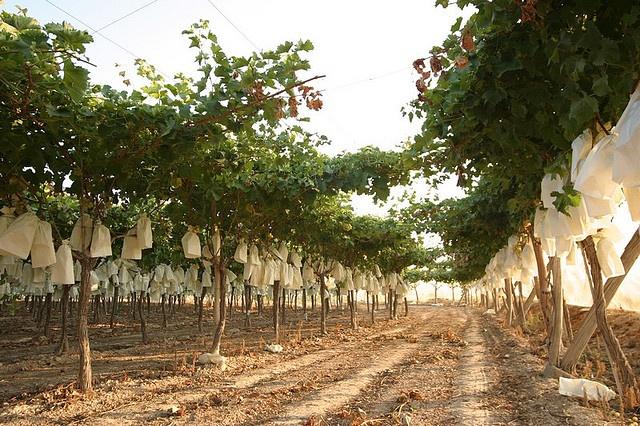 Viñas del Vinalopó    Los viñedos del Vinalopó se caracterizan por su gran belleza, debido al gran cuidado que le destinan los agricultores de la zona.  #grape #uva #embolsada #vinalopo #Spain #alicante #
