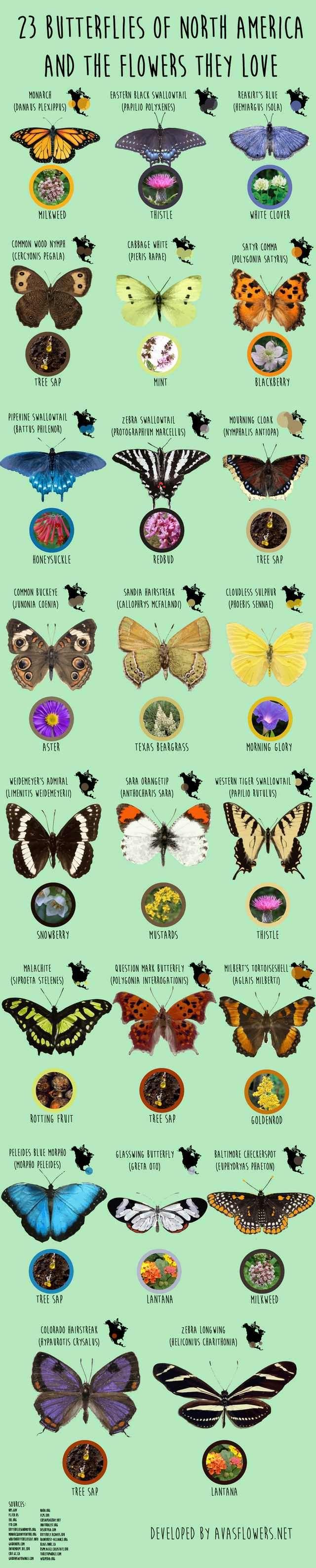 North American Butterflies - Imgur
