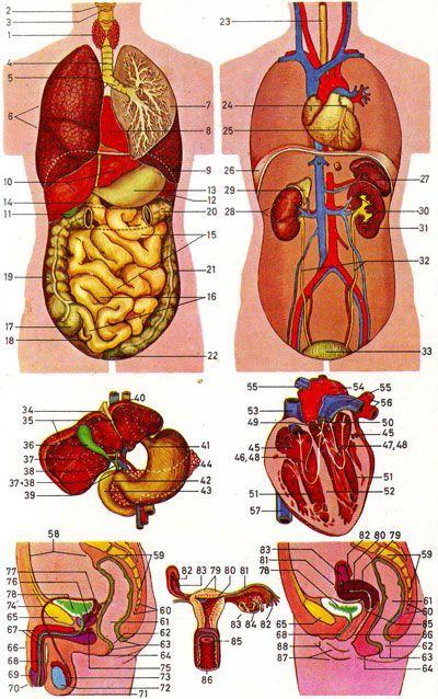 Anatomy Internal Organs Human Body Manual Guide