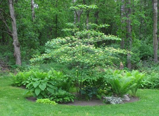 Cornus dogwood then a pagoda browse eastern its maine 1 and distributions times this ornamental grows single eastern were about the at pagoda 2010 ask. Description from lab9design.com. I searched for this on bing.com/images