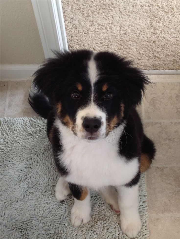 Pyrenees  Border Collie and Bernese Mountain Dog mix   Doggie  PetBernese Mountain Dog Collie Mix