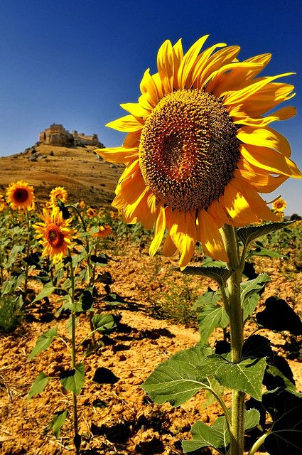 .~Sunflower - Medieval fortress of Gormaz, Soria, Castile and León, Spain~.
