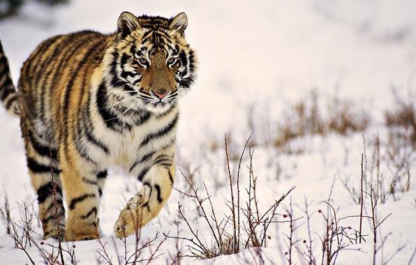 Обои тигр, идёт, полосатый, снег, зима картинки на рабочий стол, раздел кошки - скачать