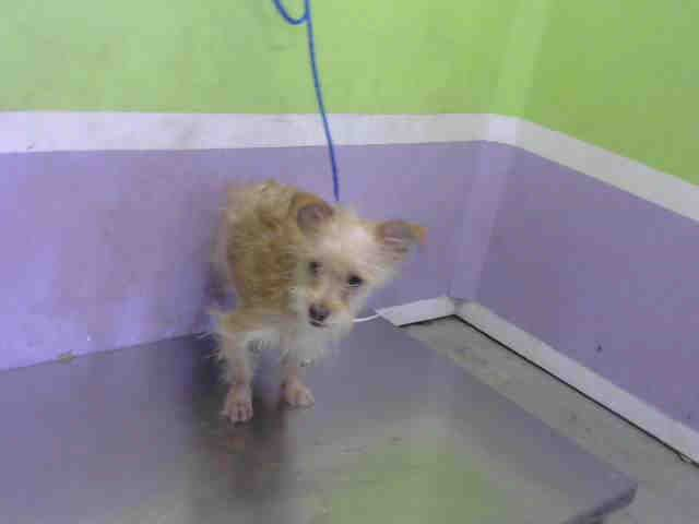 Texas Dog Id A1594040 I Am A Male Blonde And White Cairn