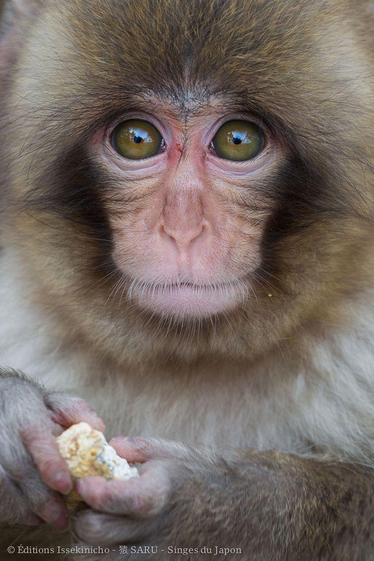 """Jeune macaque japonais à Jigokudani - Photo extraite du livre """"Saru, singes du Japon"""" Editions Issekinicho 2016"""