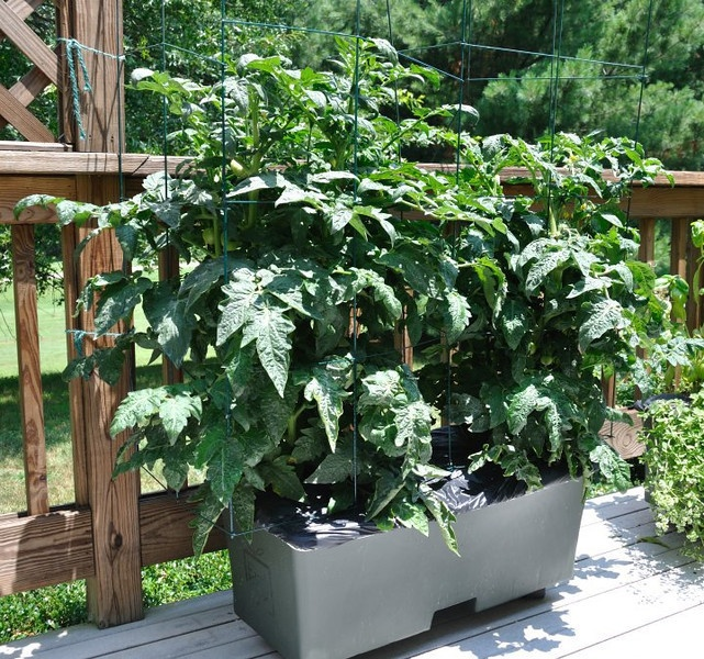 Attractive Beautiful Earthbox Patio Tomatoes