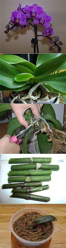 Как размножать орхидею фаленопсис.   Хитрости Жизни