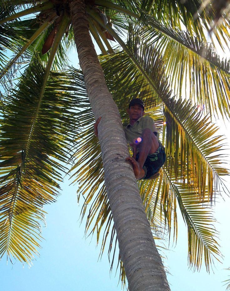 Pak Asis making missions to provide us with fresh coconuts EVERYDAY! We take what we need only when we need it 💚  #coconuts #coconuttree #palmtree #climbing #healthylifestyle #freshfood #localproduct #handpicked #natural #nature #paradise #islandlife #islandvibes #ecolodge #gililife #thisisindonesia #giliasahan #lombok #giliasahanecolodge #getoutstayout #welltraveled #seetheworld #wanderlust #globe_travel #travelpicsdaily #simplyadventure #lodgelife #aroundtheworld #lifesabeach…