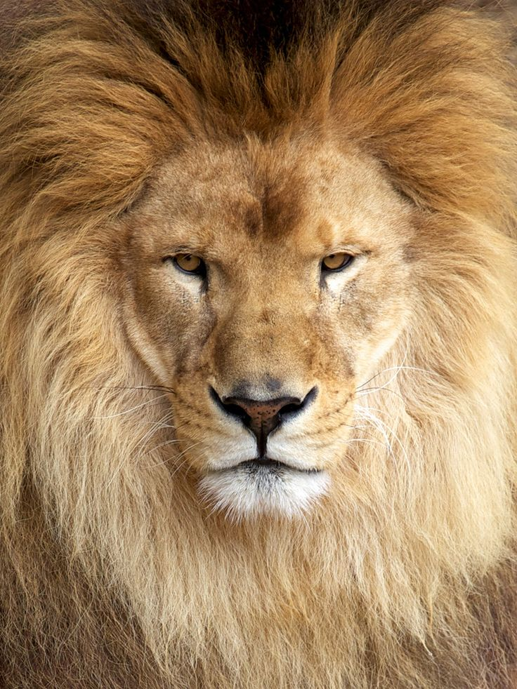 159 best images about LIONZ on Pinterest