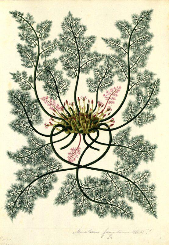 Marathrum foeniculaceum. Proyecto de digitalización de los dibujos de la Real Expedición Botánica del Nuevo Reino de Granada (1783-1816), dirigida por José Celestino Mutis: www.rjb.csic.es/icones/mutis. Real Jardín Botánico-CSIC.