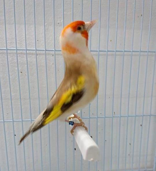 Le Chardonneret Toujours le Meilleur  ❤   https://www.facebook.com/ChardonneretGolden/  https://plus.google.com/+ChardonneretGolden  https://www.instagram.com/chardonneretgolden/  http://www.youtube.com/ChardonneretGolden  http://www.twitter.com/ChardonneretGol  http://chardonneretgolden.tumblr.com/  https://www.pinterest.com/chardonneretGolden/  http://chardonneretgolden.skyrock.com/  https://chardonneretgolden.blogspot.com/  http://chadonneret.e-monsite.com/  #الحسون #المقنين #القرديل
