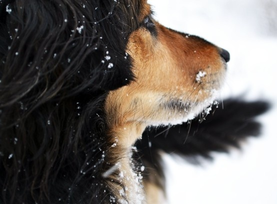 One of my favorite pictures of Sadie.  Absolutely love the details in her fur and snow flakes.