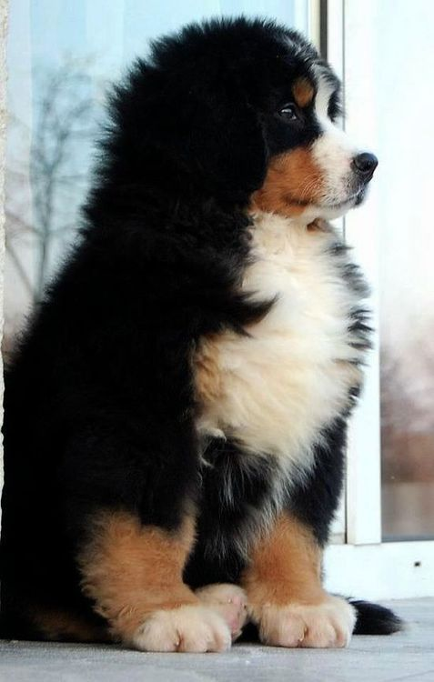 A Bernese Mountain Dog pup - beautiful markings and coat