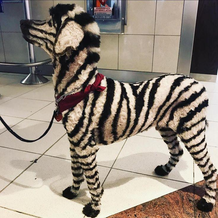 Inspiration & Accessories: DIY Zebra Dog Halloween Costume Idea #dogcostumes