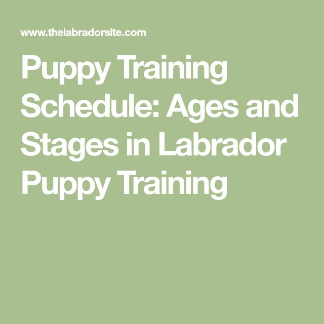 Puppy Training Schedule: Ages and Stages in Labrador Puppy Training #dogtrainingpotty #puppypottytrainingschedule