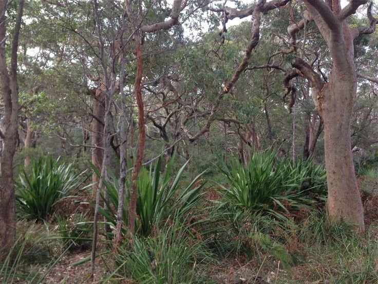 Angophora forest with Doryanthes understory