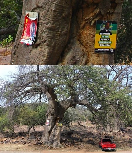A Political Choice: which side of the tree are you on? A tough choice.  Only in South Africa!