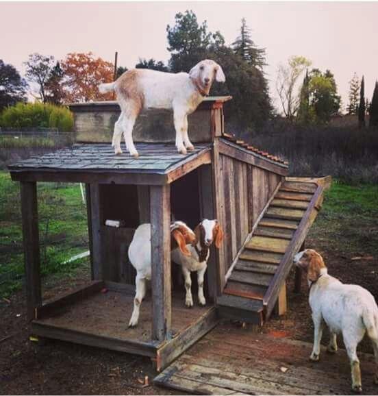 778 Best Goat Farm Images On Pinterest: 140 Best Images About Goat Houses On Pinterest