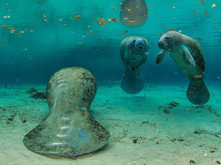 Manatees, Florida  Propeller scars mark this manatee—graphic evidence of a too-close encounter with a boat. About one in four of Florida's 360 manatee deaths in 2012 resulted from collisions. Slow-speed zones help, but some boaters resent the restrictions.