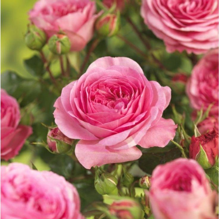 Halvfylte, rosa roser med sjateringer og årer. Ingen duft. Veldig hardfør rose. Engangsblomstrende i juni-juli. Fjern visne blomster for å fremme ny vekst. ...