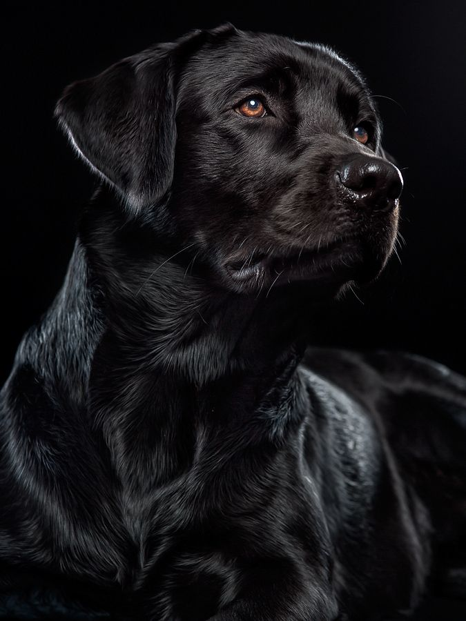 Black Lab by Alexander Heinrichs. Labs are another one of my favorite breeds. What an incredible photo. AMAZING.