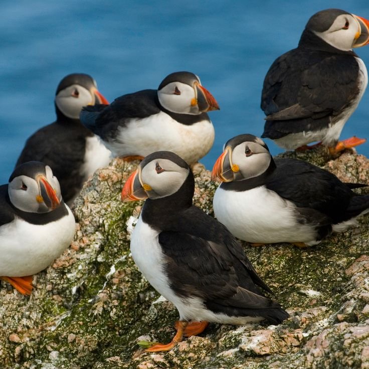 158 best puffins images on Pinterest | Bird, Penguin and Embedded ...