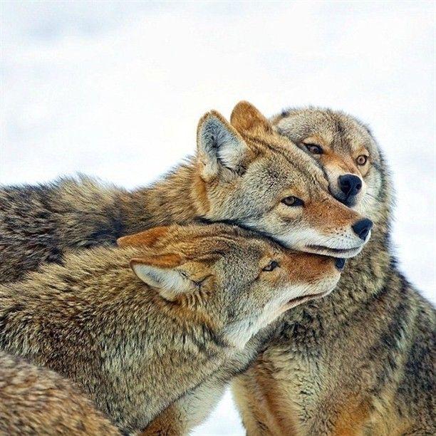 «Койоты («луговые псы») — хищные млекопитающие семейства псовых. Название происходит от ацтекского coyotl, «божественная собака». Латинское название вида…»