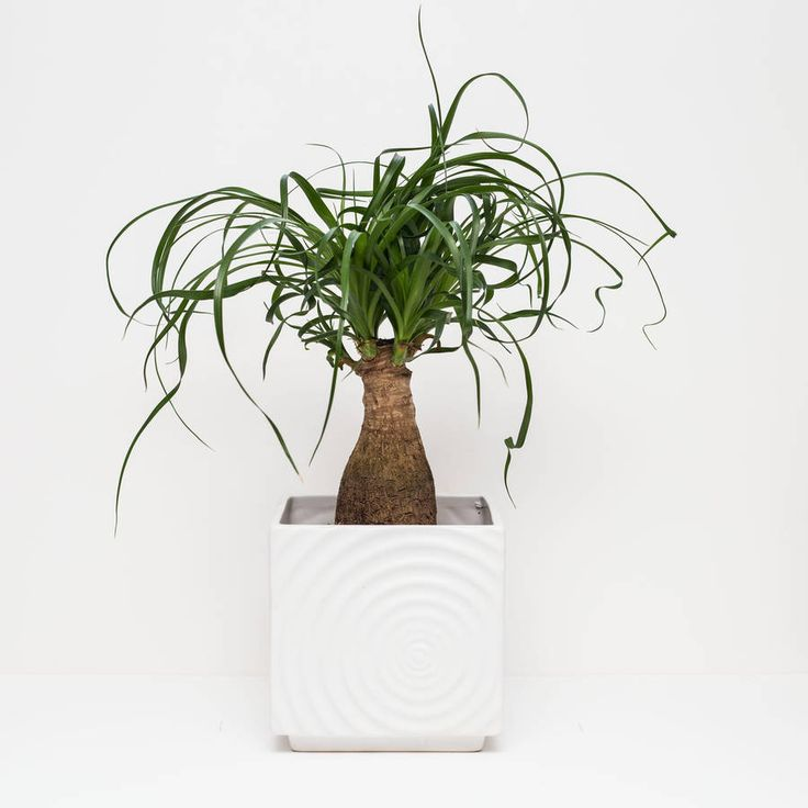 A Gorgeous Evergreen Houseplant that looks stunning in any interior set up. These Ponytail palms are great in any setting. Houseplants soften the look of any interiors and these little beauties will thrive in a sunny spot. If you can provide some sun you will see the plant converting this into lush new leaves. The base of the Ponytail Palm is a very thick swollen stem that has a woody appearance. This is actually a water storage organ, which is capable of supporting the plant in times of…