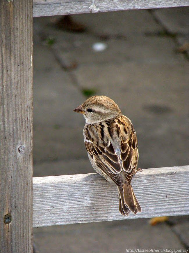 Bird, sparrow, nature - http://tastesoftherich.blogspot.ca/