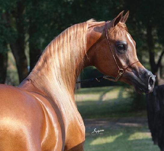 Arabian Horse World's Newcomers Guide by Arabian Horse World - issuu