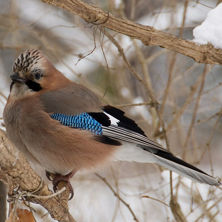 Image result for Eurasian Jay among bracken and berries Pinterest