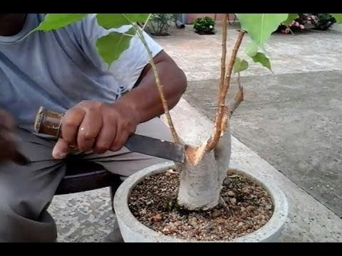 How to shaping & wiring bonsai peepal tree - YouTube