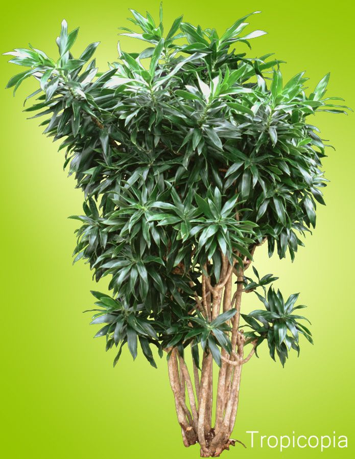 17 Best Images About Large Houseplants On Pinterest