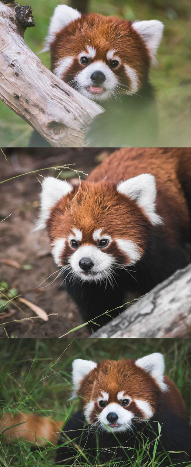 Introducing Clark, the San Diego Zoo's newest red panda resident.  photos: Paul Manaig