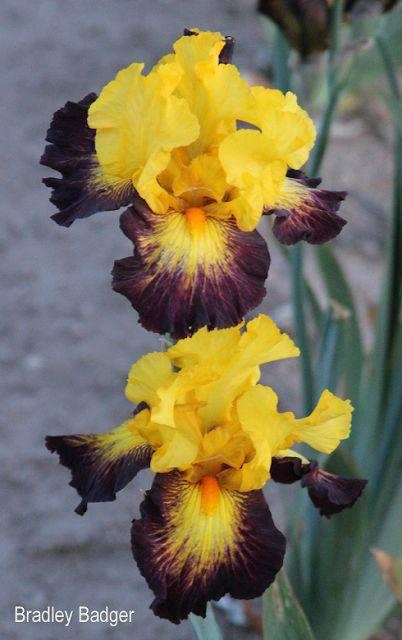 World of Irises BROKEN COLOR IRISES WITH HYBRIDIZER BRAD KASPEREK AT ZEBRA IRIS GARDENS