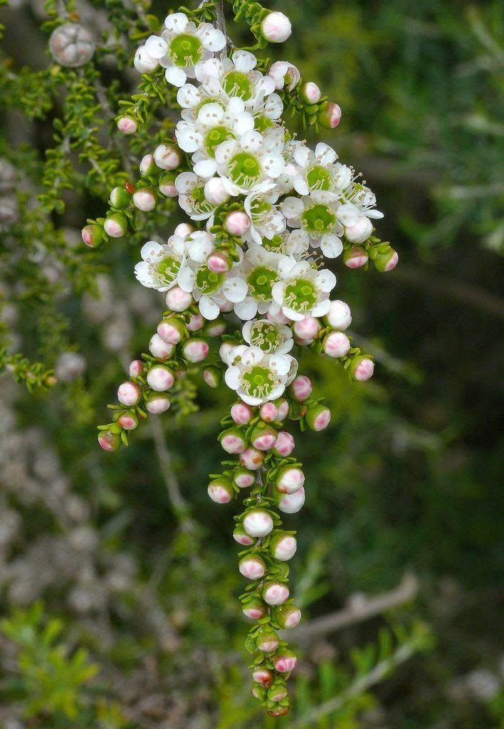 Leptospermum Minutifolium - Flowers And Gardens