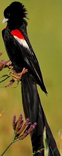 A Viúva-rabilonga (Euplectes progne) é uma espécie de ave da família Ploceidae. Pode ser encontrada nos seguintes países: Angola, Botswana, República Democrática do Congo, Quênia, Lesoto, África do Sul, Suazilândia e Zâmbia.