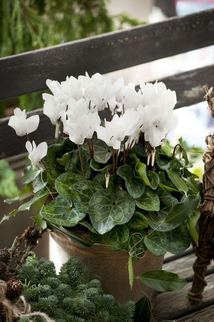 fleurs pour balcon à fleurir l'hiver - le cyclamen blanc se combine parfaitement avec les branches de conifères