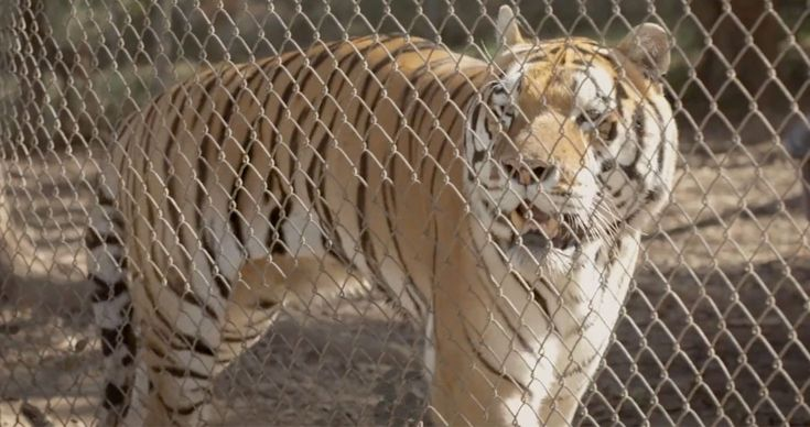 """Pittsboro is home to one of only two federally defined big-cat sanctuaries on the East Coast. Here, rescued wild cats can live in dignity in their new """"forever home."""""""