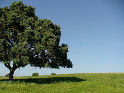 La encina, el árbol del Mediterráneo