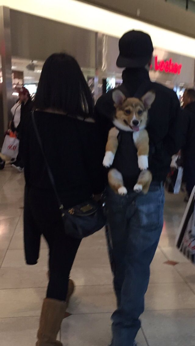 Corgi puppy going shopping http://ift.tt/2ku9dAE