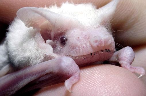 Albino microbat