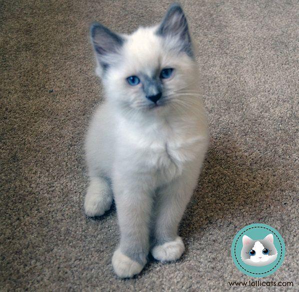 Lollicat Ragdolls - Ragdoll cats kittens for sale