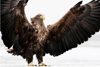 This massive and regal bird is the White-tailed Eagle, otherwise known as the Sea Eagle or Ern (Haliaeetus albicilla). With a body length measuring between 26–37 inches and a wingspan of 5.8–8.0 ft, this isn't exactly a little chickadee. These birds are close cousins of the North American Bald Eagle and they occupy about the same ecological niche, just in Eurasia instead.