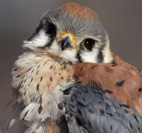 """We just received a donation for the American Kestrel Research Project with this note attached: """"Thank you to all the researchers studying this wonderful bird of prey. With love, a Falconer""""  We'd like to say, """"Thank you to all the Falconers who have lead the way in conserving raptors over the years! With love, the PFund Researchers""""  If you'd like to help stop the decline of the American Kestrel, please donate today at: www.gofundme.com/AmericanKestrel  Photo Credit: MLThorsteinson"""