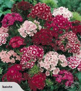 SWEET WILLIAM Dianthus barbatus    Free flowering relative of carnations and dianthus, dainty Sweet Williams are compact bushy plants with masses of small flowe...